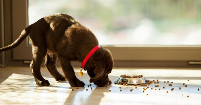 FDA names 16 dog food brands associated with canine heart disease